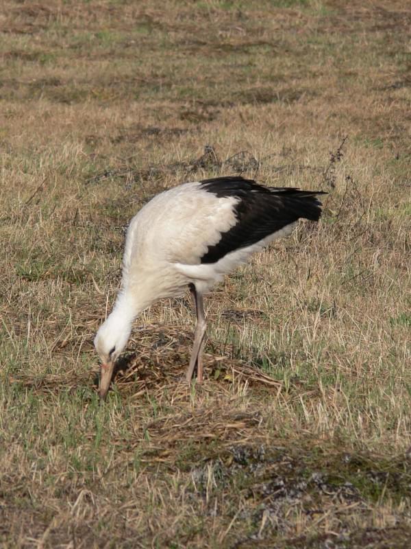 Bocian u Pardubic Fotografováno 10.1.07 (foto Jiří Rejl) #bociany #europa #pardubice