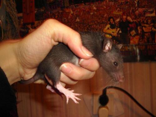 #SzczurSzczurekSzczurySzczurki
