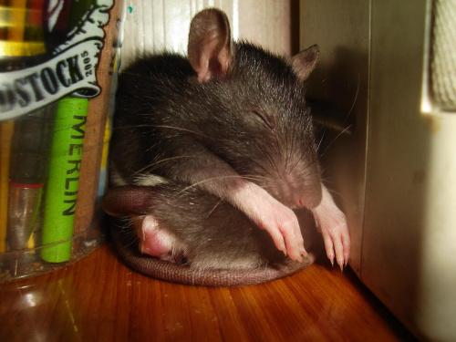 Zuzia odpoczywa na Majce :D :D :D #SzczurSzczurekSzczurkiSzczury